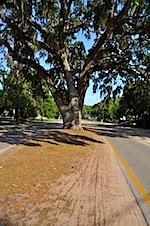 The live oak has the right-of-way.